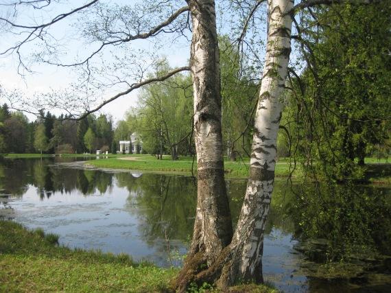 birch trees in Pavlovsk
