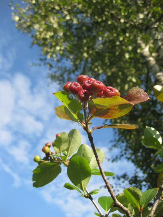 Aronia Melanocarpa and birch at dacha
