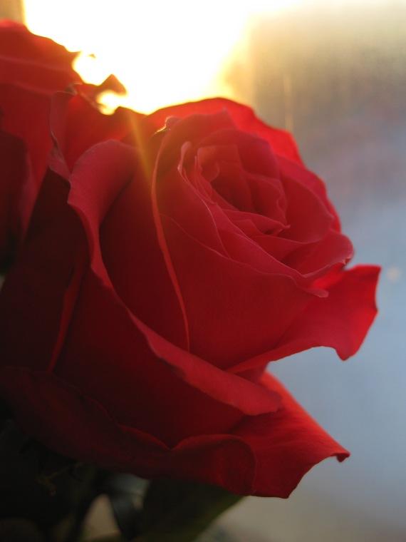 winter light rose