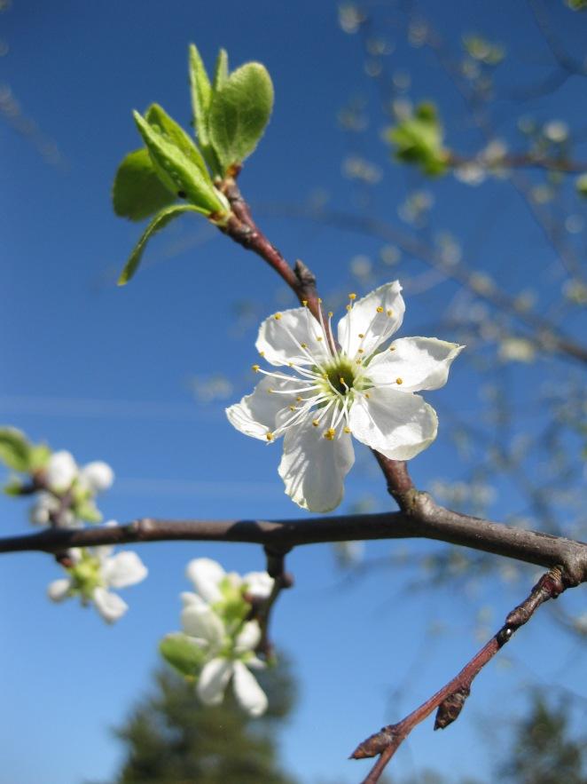 Spring 2014, plum tree