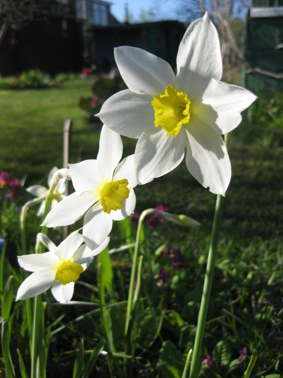 Spring 2014, narcissus