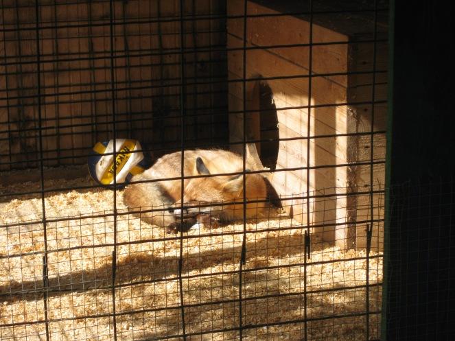 Three-legged fox
