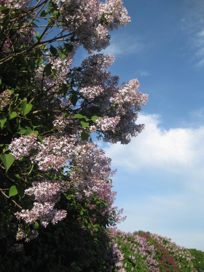 Lilac, St Petersburg